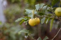 Lemon on branch of tree