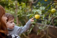 Mother and daughter looking at lemons on tree 11015287967| 写真素材・ストックフォト・画像・イラスト素材|アマナイメージズ