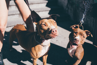 Portrait of two pit bull terriers on urban stairwell
