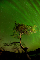 Aurora borealis above tree at Polygonal Lakes at night, Khibiny mountains, Kola Peninsula, Russia