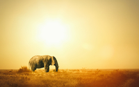 Elephant at sunset, Etosha National Park, Namibia