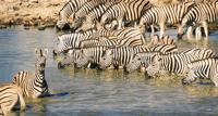 Zebras in pond, Etosha National Park, Namibia