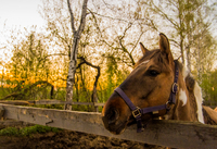 Skewbald horse in forest looking out from fence, Russia