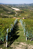 Vineyards, Barolo, Langhe, Piedmont, Italy