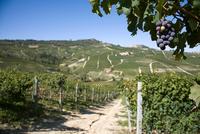 Vineyards, Nebbiolo, Langhe, Piedmont, Italy
