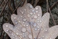 Cropped close up of dew on autumn oak leaf