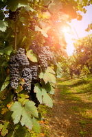 Vineyard, Langhe Nebbiolo, Piedmont, Italy