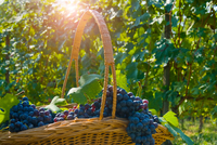 Basket of grapes, Langhe Nebbiolo, Piedmont, Italy