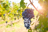 Bunch of grapes on tree, Langhe Nebbiolo, Piedmont, Italy