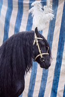 Black horse with feather headdress