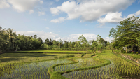 Paddy field, Gili Meno, Lombok, Indonesia