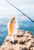 Close up of fish caught on fishing hook, Lombok, Indonesia