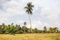 Field landscape with tall palm tree, Ubud, Bali, Indonesia