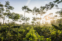 Sunlit coffee plantation, Wana Giri, Bali, Indonesia