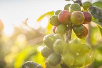 Close up of sunlit coffee berries in plantation, Wana Giri, Bali, Indonesia