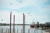 Flock of birds flying in harbour, Southwold, Suffolk, UK
