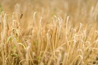 Organic barley growing in field