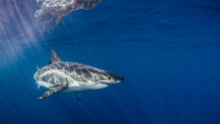 Underwater view of Great White Shark, Guadalupe Island, Mexico
