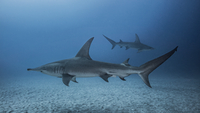 Underwater view of Great Hammerhead Sharks, Jupiter, Florida, USA