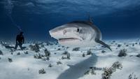 Underwater view of diver near Tiger shark, Nassau, Bahamas 11015294955| 写真素材・ストックフォト・画像・イラスト素材|アマナイメージズ