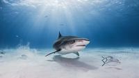 Underwater view of Tiger shark, Nassau, Bahamas 11015294958| 写真素材・ストックフォト・画像・イラスト素材|アマナイメージズ