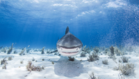 Underwater view of Tiger shark, Nassau, Bahamas