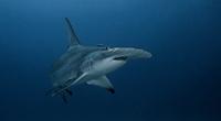 Underwater view of Great Hammerhead Shark, Jupiter, Florida, USA