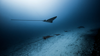 Underwater view of Eagle Rays, Cancun, Mexico