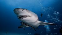 Underwater view of Lemon Shark, Jupiter, Florida, USA