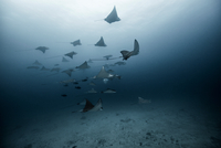 Underwater view of large group of Eagle Rays, Cancun, Mexico