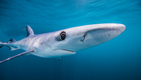 Underwater view of Blue Shark, San Diego, California, USA