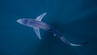 Underwater view of shark swimming, San Diego, California, USA