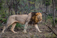 Wild African male Lion stalking its prey, Hluhluwe-Imfolozi Park, South Africa