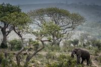 Wild African Elephant eating leaves, Hluhluwe-Imfolozi Park, South Africa
