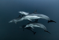 Pod of Common Dolphins hunting, Port St. Johns, South Africa