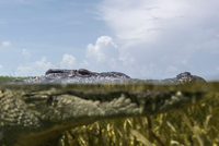 Close up portrait of American crocodile (crodoylus acutus) in the shallows of Chinchorro Atoll, Mexico