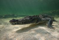 Two American crocodiles (crodoylus acutus) in the shallows of Chinchorro Atoll, Mexico