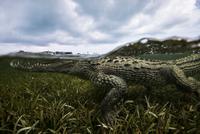 American crocodile (crodoylus acutus) in the shallows of Chinchorro Atoll, Mexico