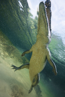 Low angle view of American crocodile (crodoylus acutus) in the shallows of Chinchorro Atoll, Mexico