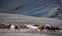 Icelandic horses in the Fjallabak area of the Icelandic highlands