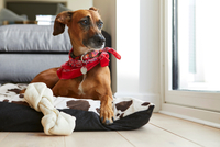 Dog in dog bed with bone looking away