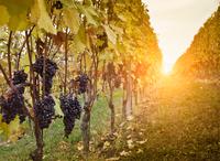 Vineyard twilight, red grapes of Nebbiolo, Barolo, Langhe, Cuneo, Piedmont, Italy 11015297123| 写真素材・ストックフォト・画像・イラスト素材|アマナイメージズ