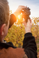 Worker holding bunch of red grapes of Nebbiolo against sunset, Barolo, Langhe, Cuneo, Piedmont, Italy 11015297128| 写真素材・ストックフォト・画像・イラスト素材|アマナイメージズ