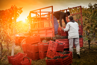 Workers loading crates of red grapes of Nebbiolo into trailer, Barolo, Langhe, Cuneo, Piedmont, Italy