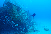 Scuba diver and school of fish by shipwreck, Cancun, Quintana Roo. Mexico 11015297293| 写真素材・ストックフォト・画像・イラスト素材|アマナイメージズ