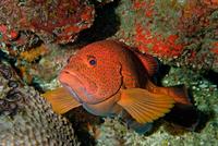 Coney fish (cephalopholis fulva) on coral reef, Cancun, Quintana Roo. Mexico