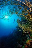 Silhouette of scuba diver by soft coral reef, Belize
