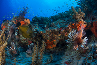 Lionfish by reef, Cancun, Mexico