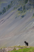 Icelandic horse standing on hill in front of mountain scree, Hofn, Hornafjordur, Iceland