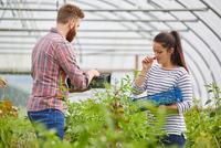 Couple in polytunnel harvesting fresh chilli peppers 11015297911| 写真素材・ストックフォト・画像・イラスト素材|アマナイメージズ
